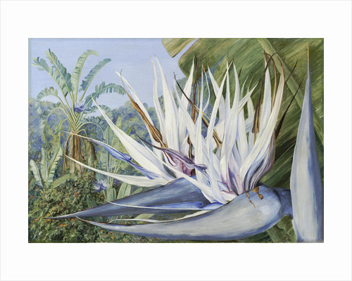 369. Strelitzia augusta at St. John's Kaffraria. by Marianne North