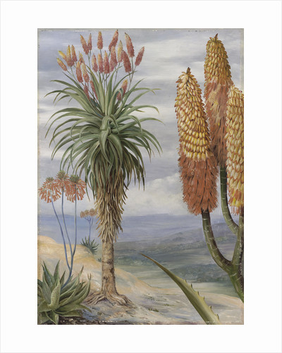 386. Aloes at Natal. by Marianne North