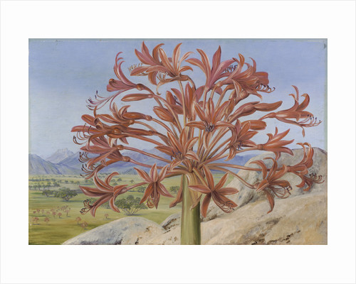 399. Brunsvigia multiflora, near Queenstown, South Africa. by Marianne North