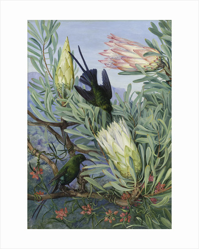 415. Honeyflowers and Honeysuckers, South Africa. by Marianne North