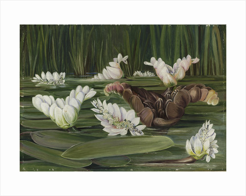 420. A South African Water-Plant in Flower and Fruit. by Marianne North