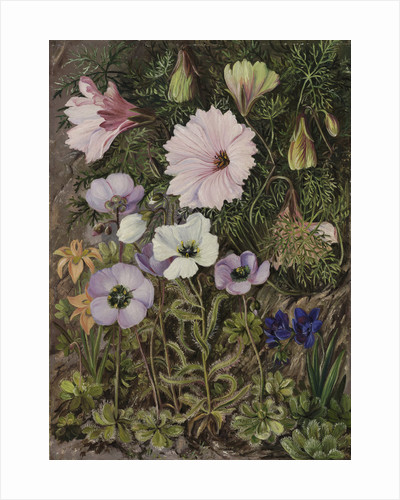 422. South African Sundews and other Flowers. by Marianne North