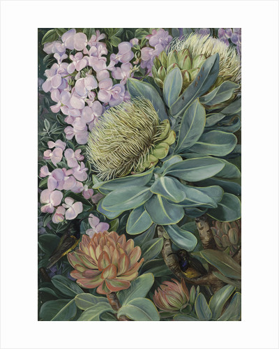 429. Flowers of the Wagenboom and a Podalyria, and Honeysuckers. by Marianne North