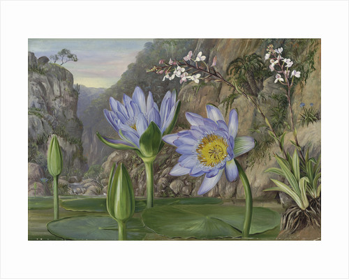 430. Water-Lily and surrounding vegetation in Van Staaden's Kloof. by Marianne North