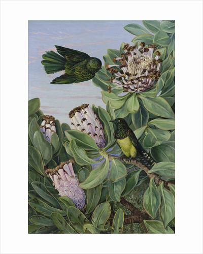 435. Protea and Golden-breasted Cuckoo, of South Africa. by Marianne North