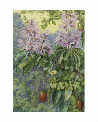 457. Wild Chestnut and Climbing Plant of South Africa. by Marianne North