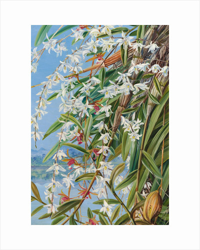 614. The Turong, or Pigeon Orchid in Borneo, and a purple-brown Cymbidium by Marianne North