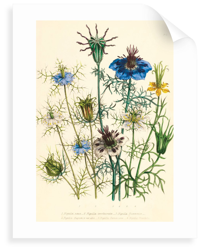Illustrations of various Nigellas / Love in a Mist by Jane Webb Loudon