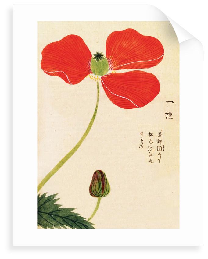 Honzo Zufu [Poppy] by Kan'en Iwasaki