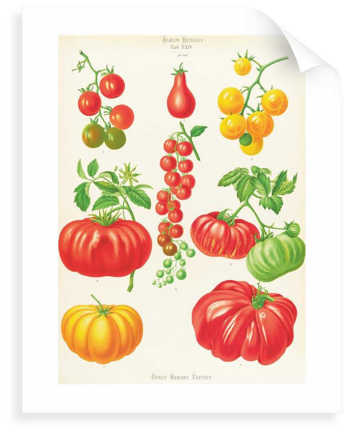 Tomatoes, or Love-Apples by Ernst Benary