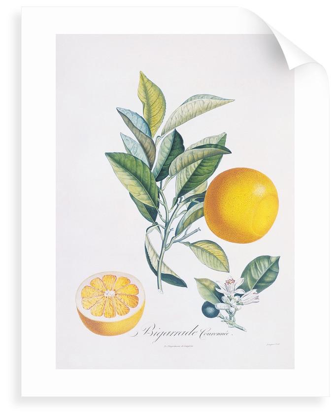 Orange Bigarrade Couronnée by Antoine Poiteau