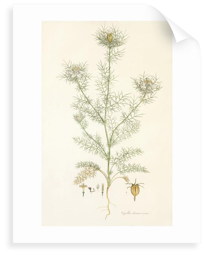 Nigella damascena. Love in a Mist by John Sibthorp