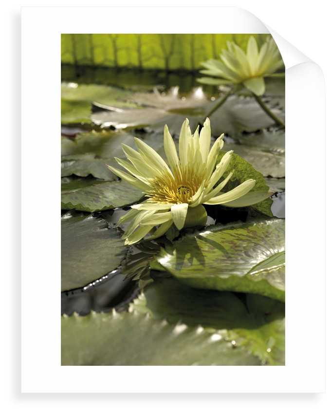 Nymphaea eldorado. Waterlily by Andrew McRobb