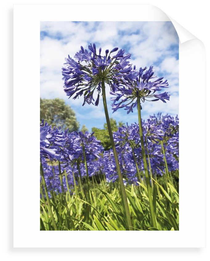 Agapanthus nutans by Andrew McRobb