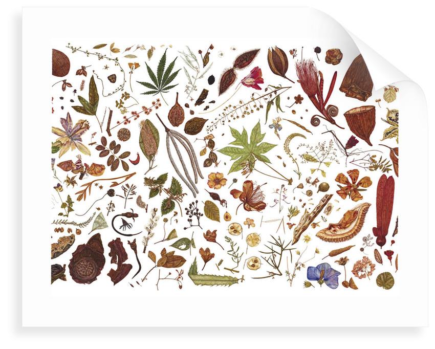 Herbarium Specimen Painting page 5 by Rachel Pedder-Smith