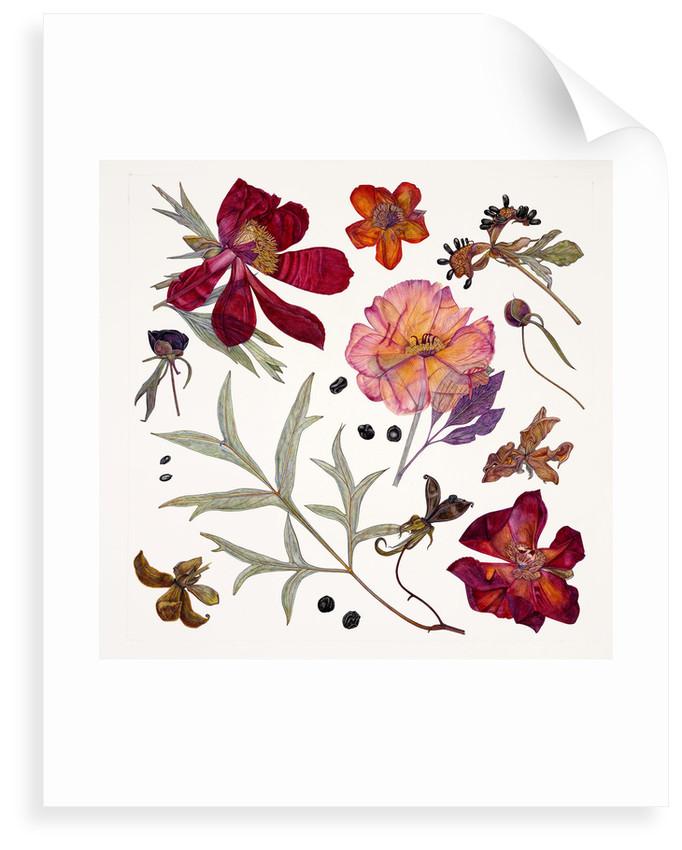 Peony Specimens by Rachel Pedder-Smith