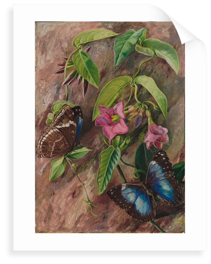 52. Twining plant and butterfly of Brazil, 1880. by Marianne North