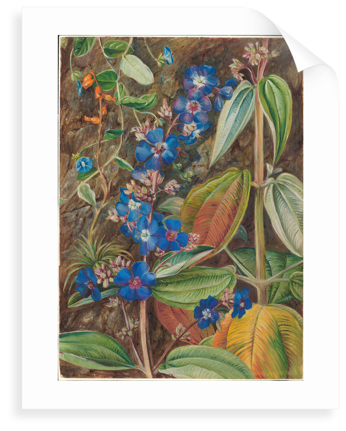 69. Wild flowers of Casa Branca, Brazil, 1880 by Marianne North