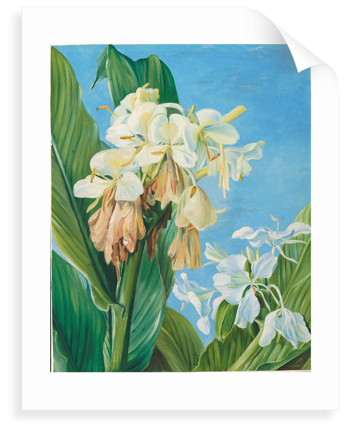 72. Flowers of Hedychium, botanic gardens, Brazil, 1880 by Marianne North