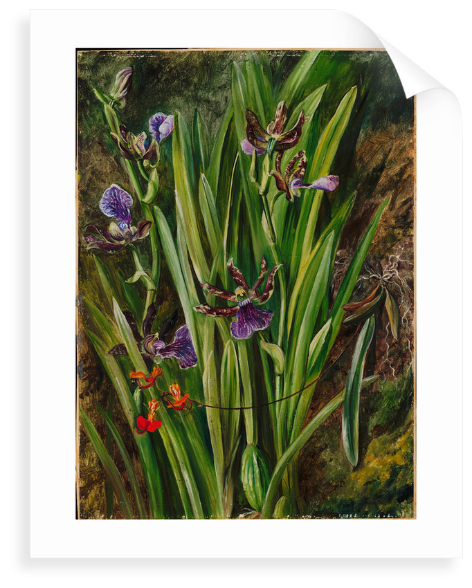78. Brazilian orchids, 1880 by Marianne North