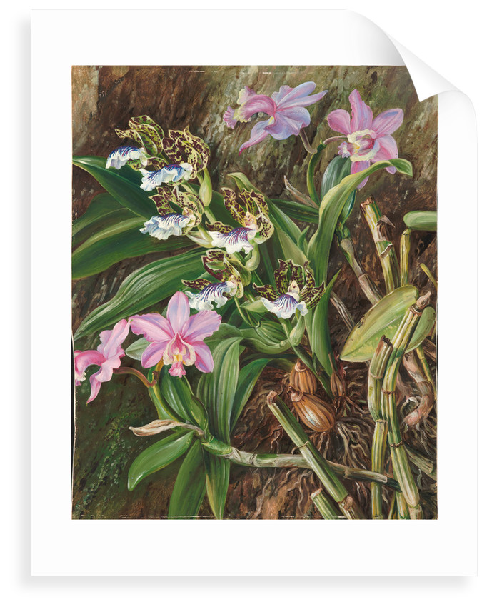 84. Brazilian orchids, 1880 by Marianne North