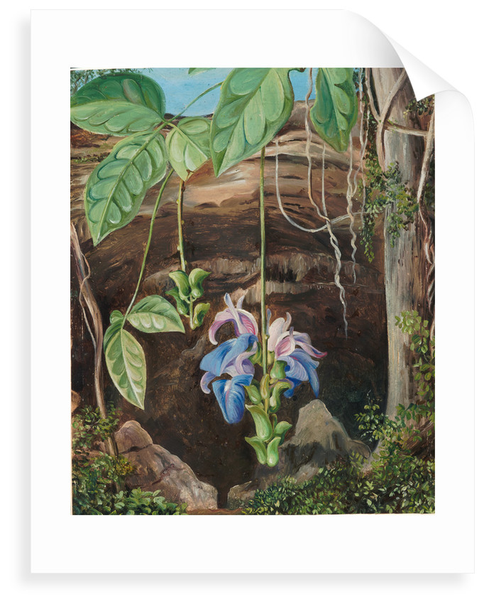99. Flowers of a twiner, Brazil, 1880 by Marianne North