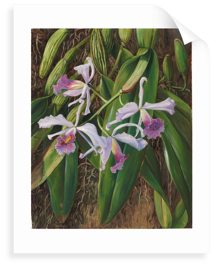 102. A Brazilian orchid, 1873 by Marianne North