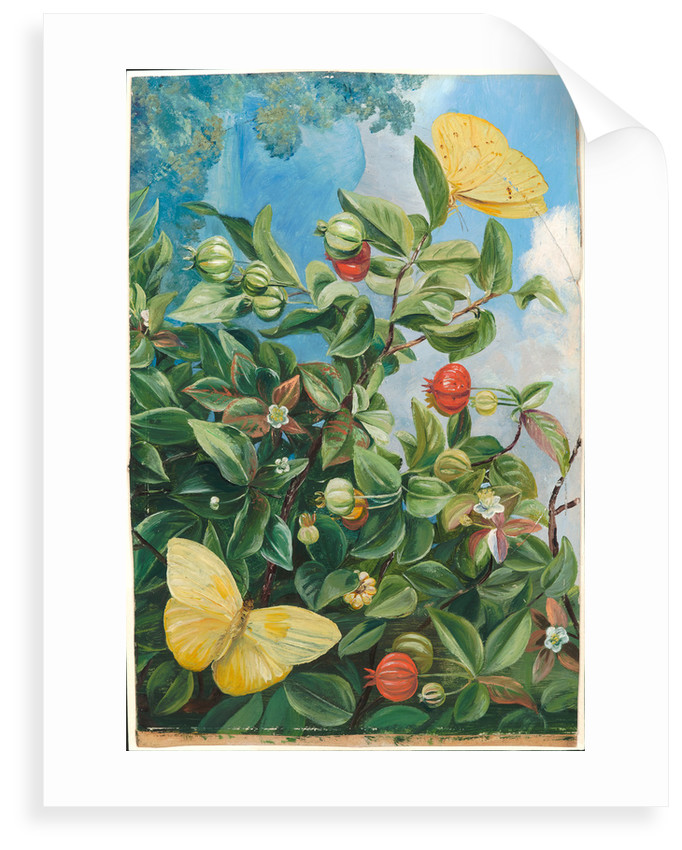 114. Foliage, flowers and fruit of the pitanga, and sulphur butterflies, Jamaica, 1872 by Marianne North