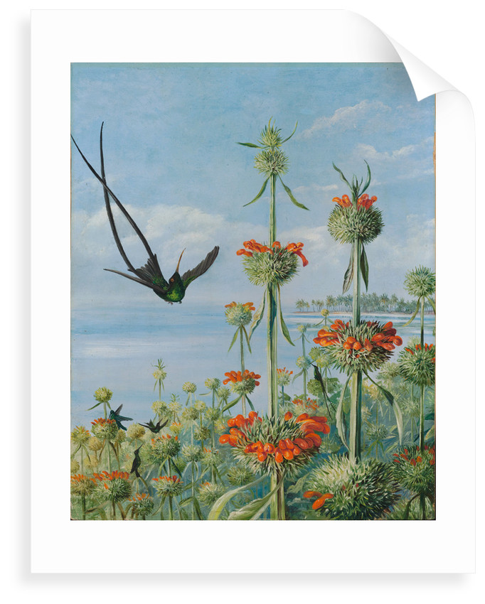 124. Leonotis nepetaefolia and doctor humming birds, Jamaica, 1872. by Marianne North