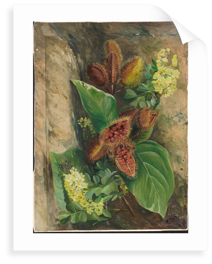 160. Foliage and fruit of arnatto and foliage and flowers of logwood, Jamaica, 1872 by Marianne North