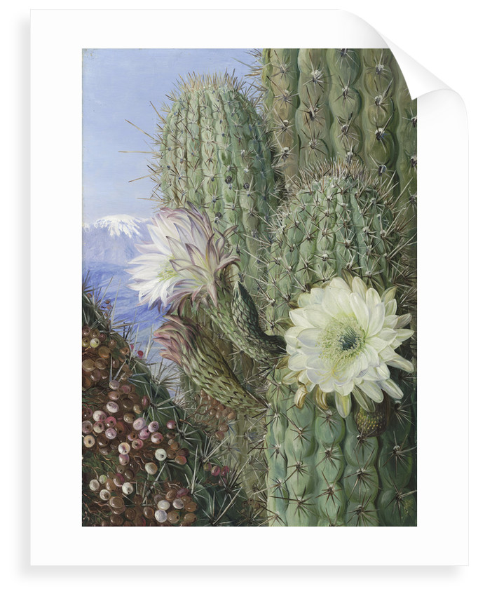 23. A Chilian Cactus in flower and its leafless Parasite in fruit. by Marianne North