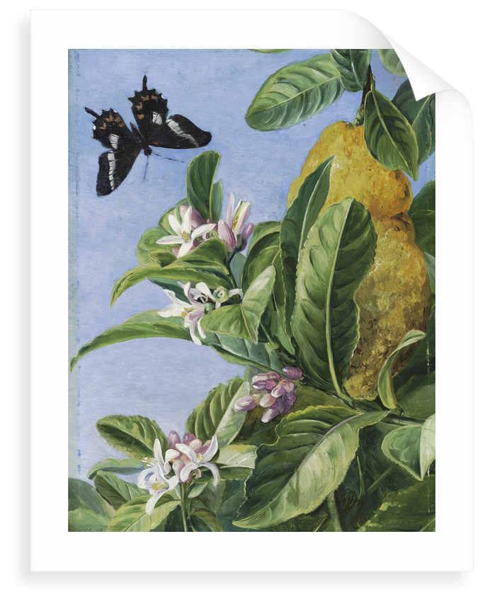 186. Foliage, Flowers and Fruit of the Citron, and Butterfly; painted in Brazil. by Marianne North