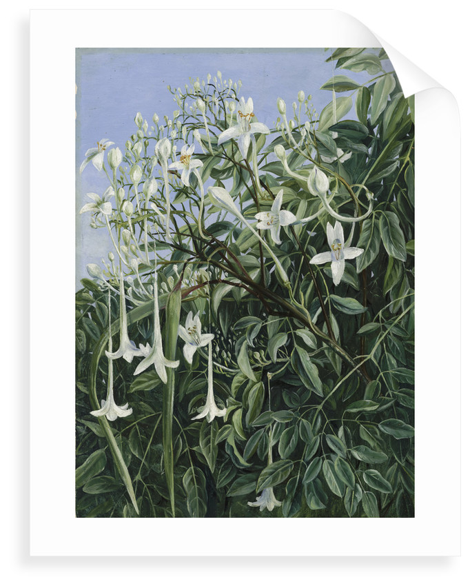 286. Foliage, Flowers, and Fruit of Millingtonia hortensis. by Marianne North