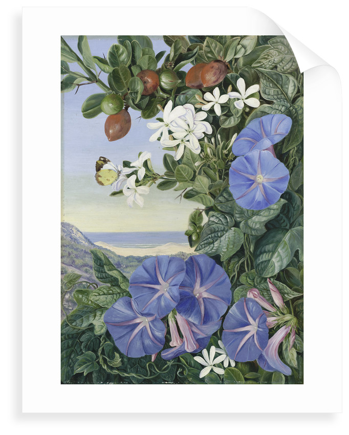 378. Amatungula in Flower and Fruit and Blue Ipomoea, South Africa. by Marianne North