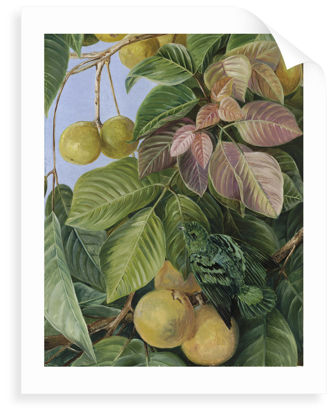 537. Fruit of Sandoricum and Green Gaper, Borneo. by Marianne North
