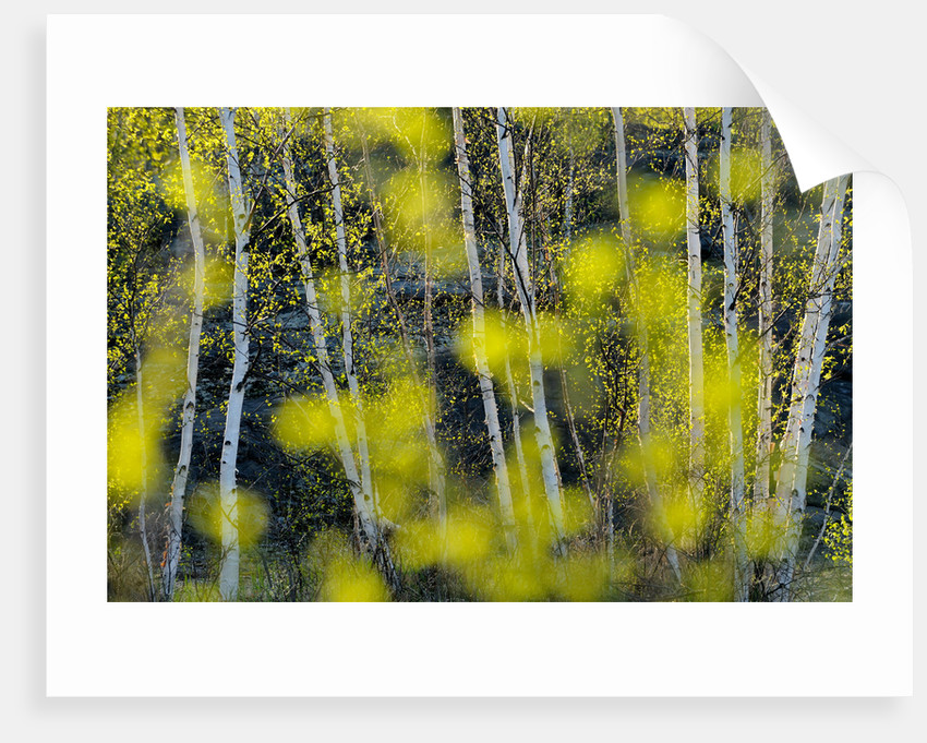 Birch Trees and Foliage in Spring by Don Johnston
