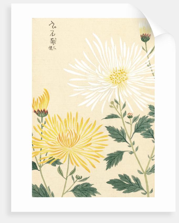 Honzo Zufu [Yellow & White Chrysanths] by Kan'en Iwasaki