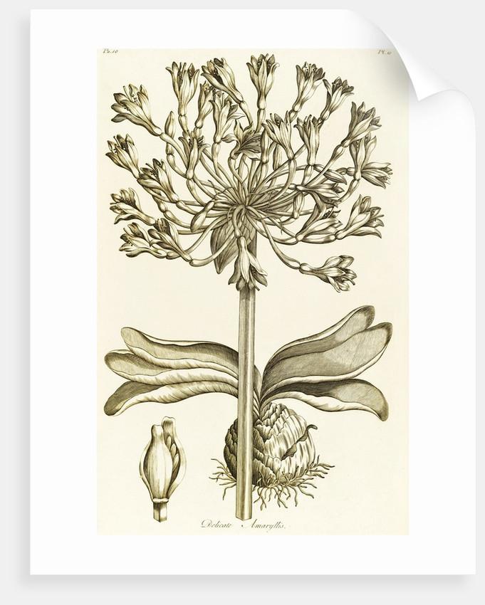 Delicate Amaryllis - Amaryllis orientalis by John Hill