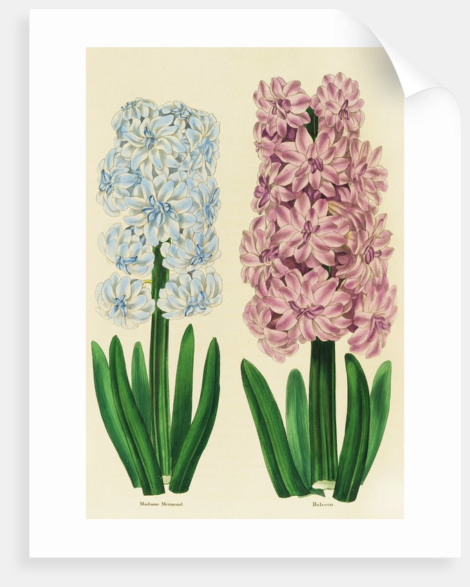 Hyacinths Madame Mermond and Helicon by Anon