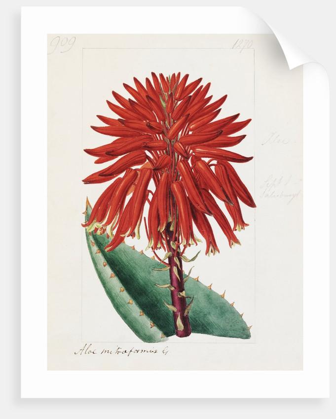 Aloe mitriformis Mill. Mitre Aloe by Sydenham Teast Edwards