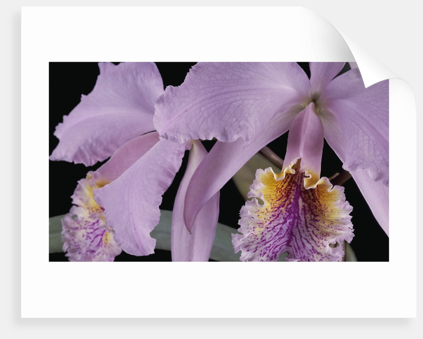 Cattleya labiata var. mossiae by Andrew McRobb