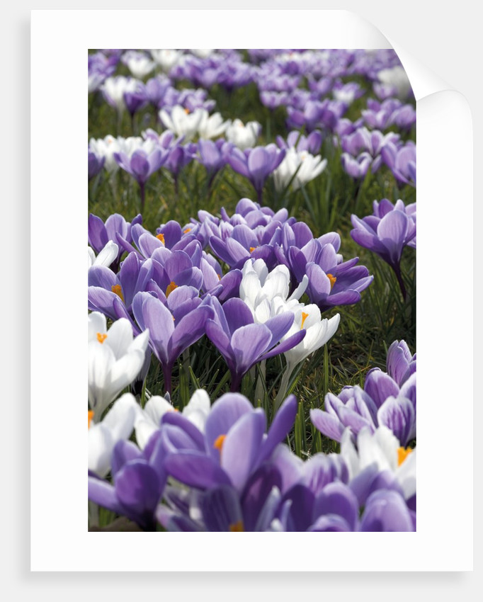 Crocus Carpet by Andrew McRobb