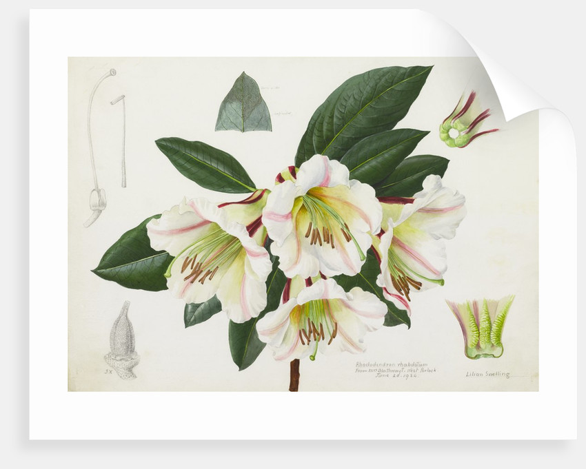 Rhododendron rhabdutum by Lillian Snelling
