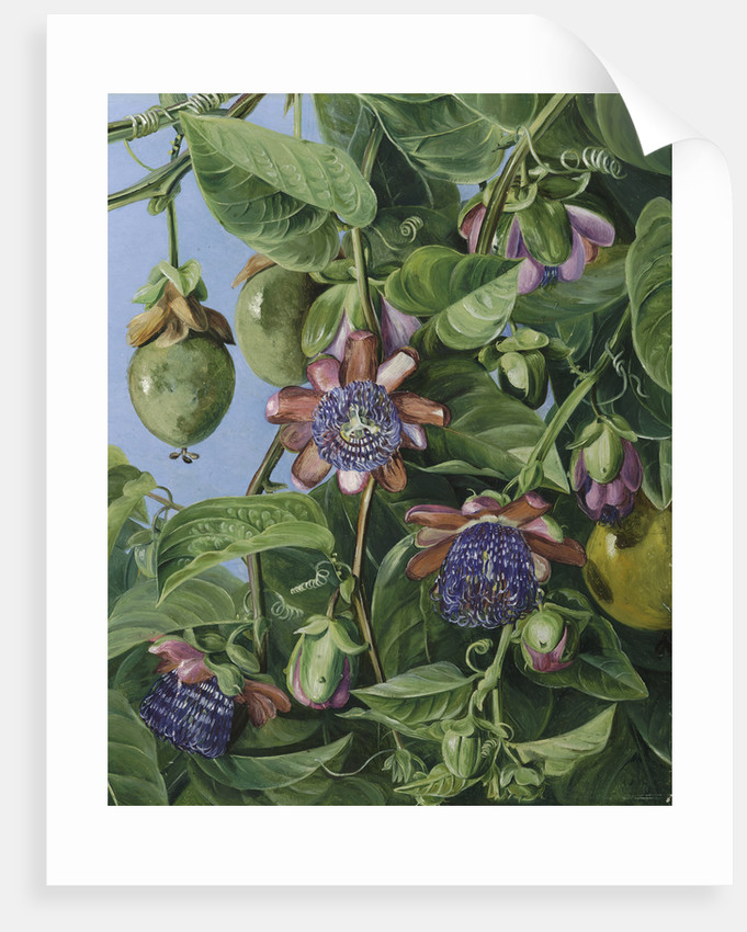 37. Flowers and Fruit of the Maricojas Passion Flower, Brazil. by Marianne North