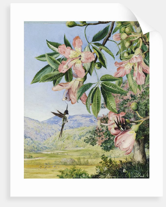 97. Foliage and Flowers of a Coral tree and double-crested Humming Birds, Brazil. by Marianne North