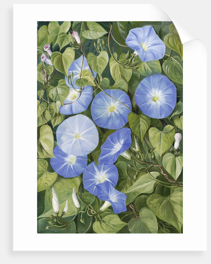355. Morning Glory, Natal by Marianne North