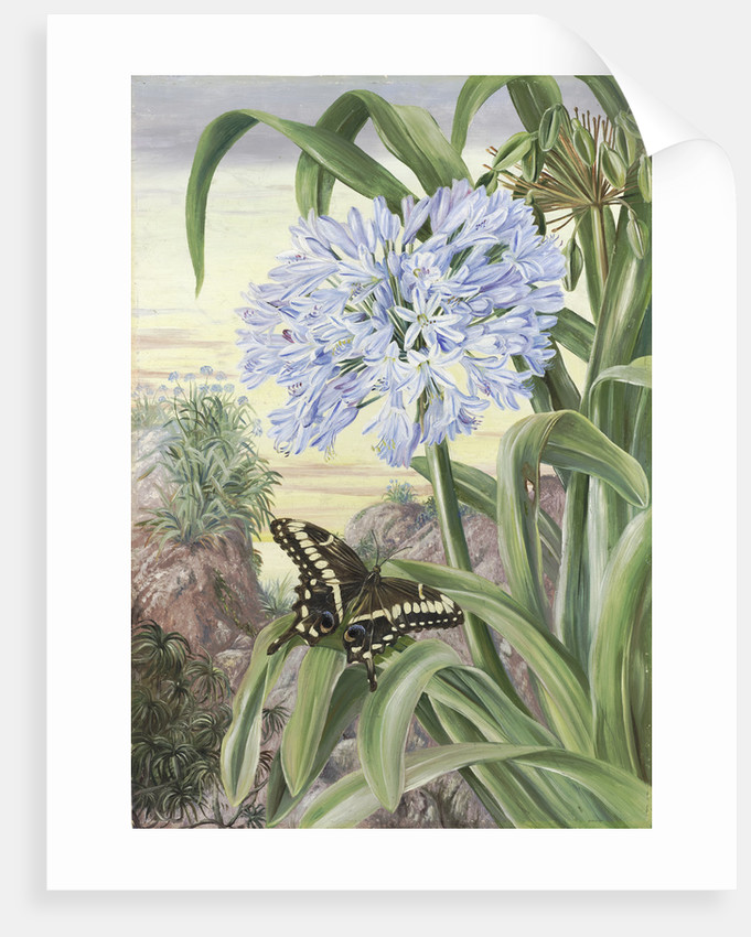 357. Blue Lily and large Butterfly, Natal. by Marianne North