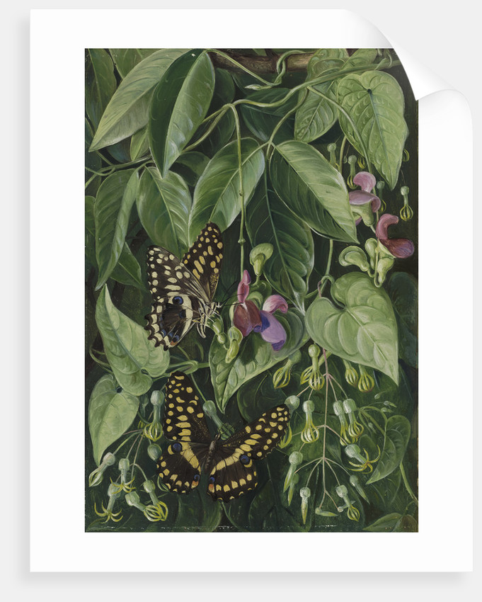 392. Two climbing plants of St. John's, and Butterflies. by Marianne North
