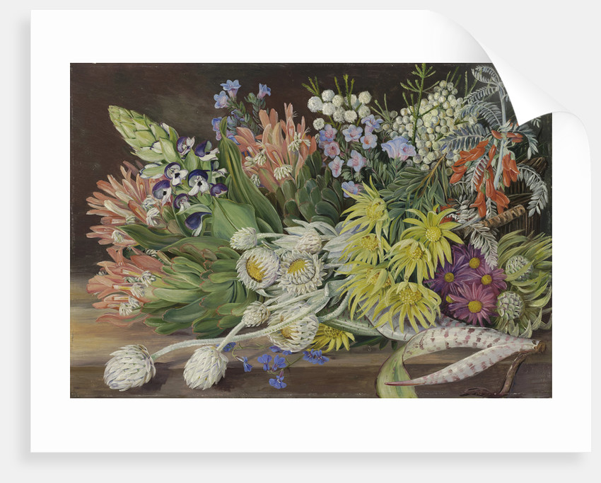 405. A Medley of Flowers from Table Mountain, Cape of Good Hope. by Marianne North
