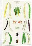 Beans - Runner, Tall Kidney, or Pole by Ernst Benary